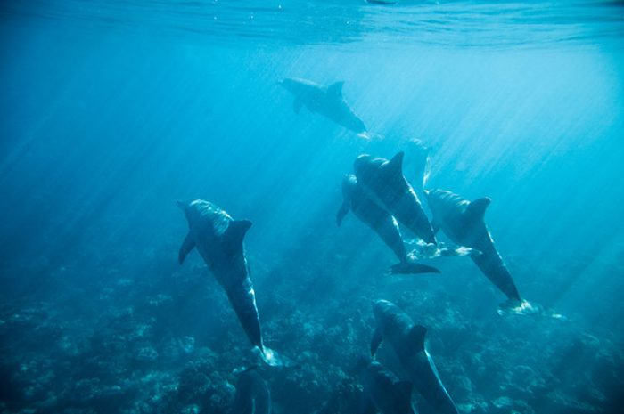 Dolphins Swimming, Mauritius