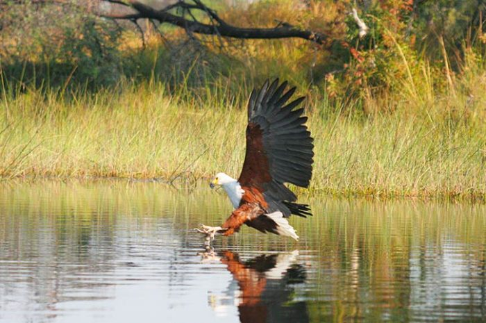 Eagle In Okavango