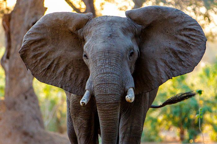 Elephant, Zimbabwe