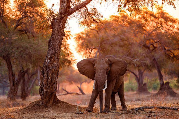 Elephant. Zimbabwe