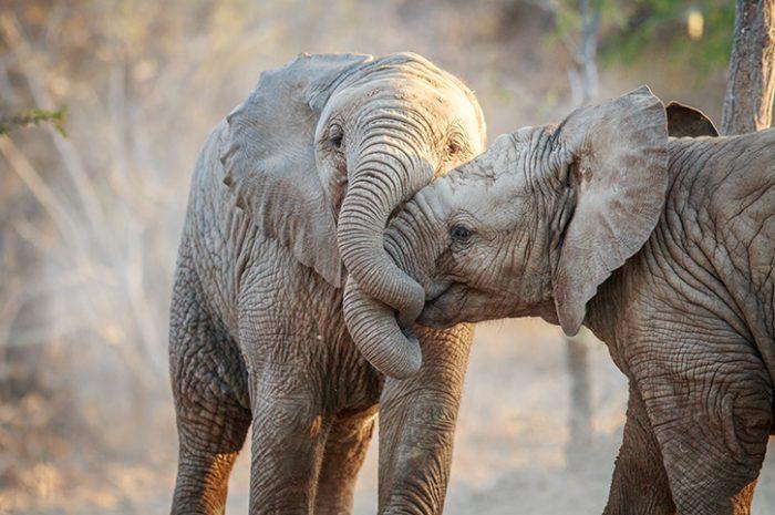 Elephants, Kruger National Park