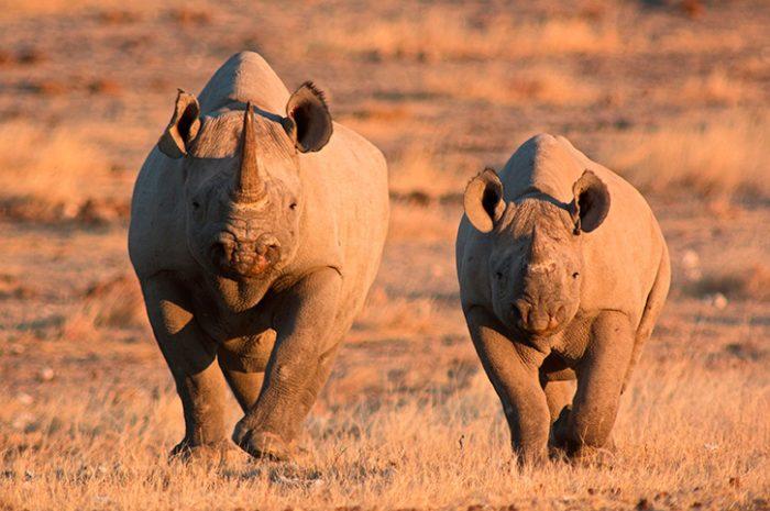 Rhinos, Etosha National Park