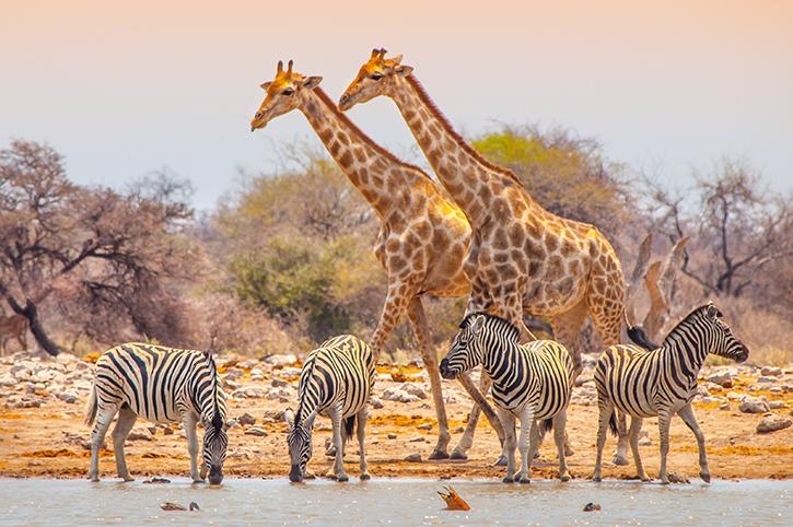 Giraffe and zebra, Etosha National Park