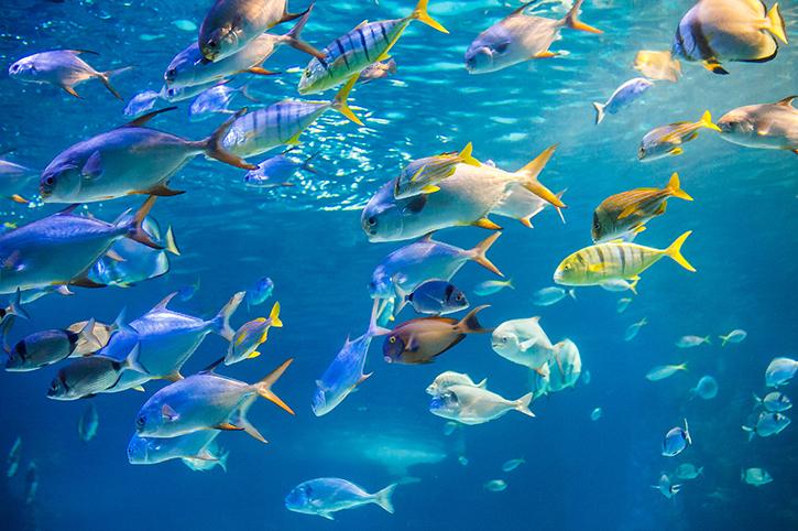 Fish, Fiji