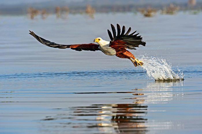 Fish Eagle Kenya