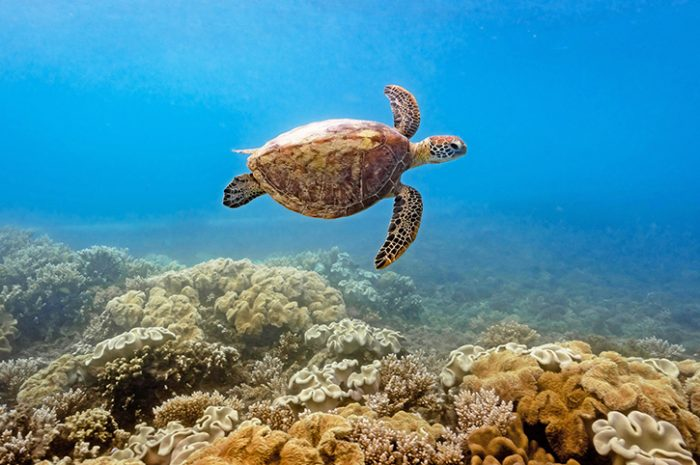 Fitzroy Island Turtle