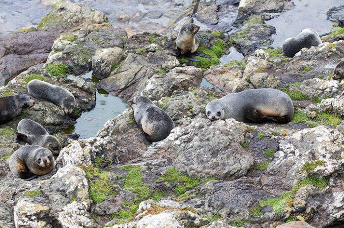 Fur Seals Otago