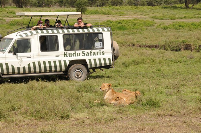Game Drive Lion
