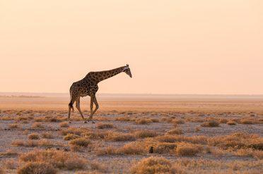 Giaffes, Etosha National Park