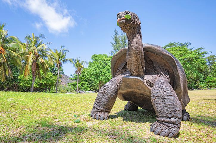 Giant Tortoise, Seychelles