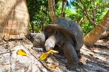 Giant Tortoise Eating Leaves, Seychelles