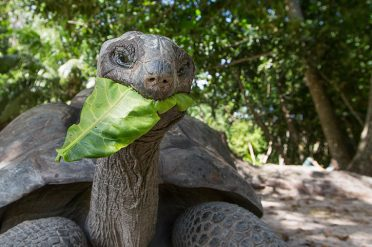 Giant Tortoise Eating, Seychelles