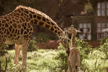 Daisy and calf, Giraffe Manor