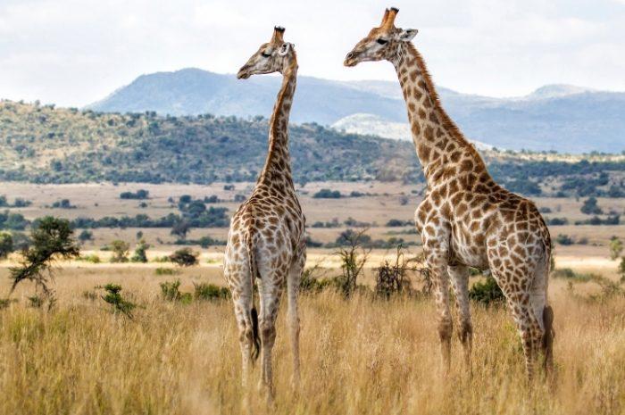 Giraffe, Pilanesberg National Park