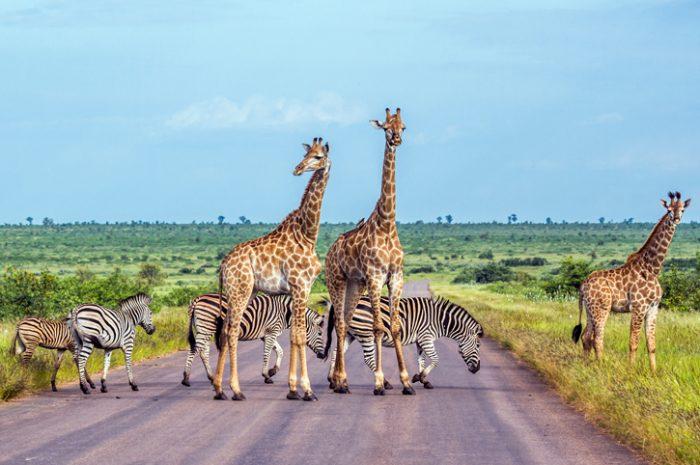 Giraffe and zebra, Kruger National Park