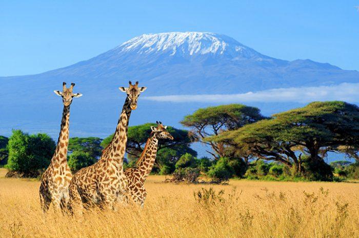 Giraffes, Kilimanjaro