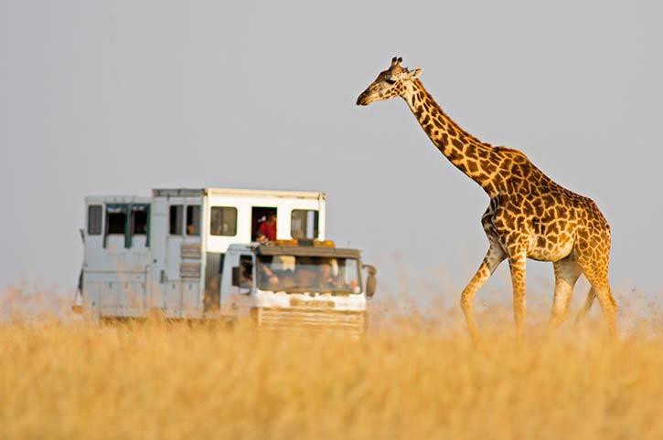 Giraffe, Masai Mara National Park