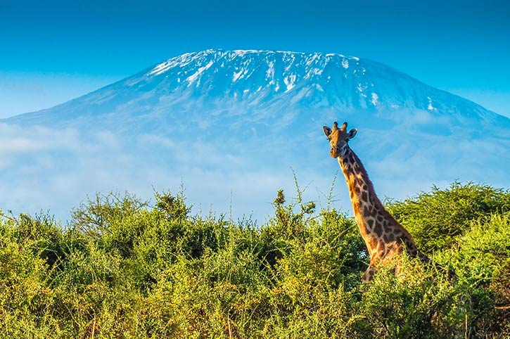 Giraffe, Mount Kilimanjaro, Tanzania
