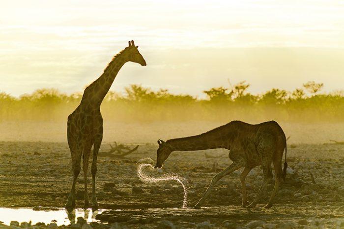 Giraffes, Etosha National Park