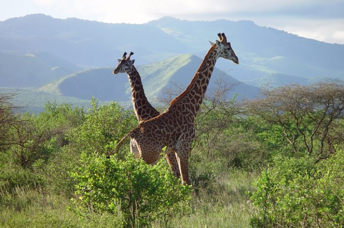 Giraffes in Tsavo National Park