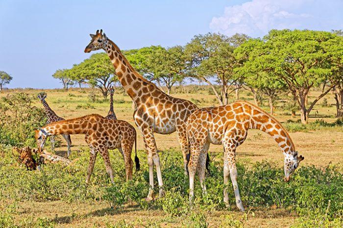 Giraffes, Murchison Falls National Park