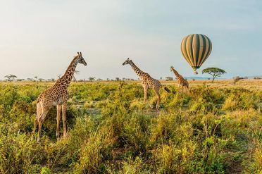 Giraffes, Serengeti National Park