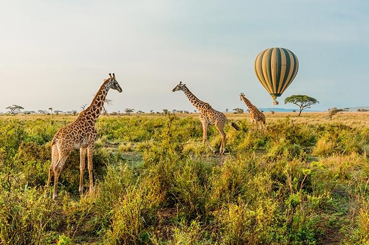 Giraffes, Serengeti National Park