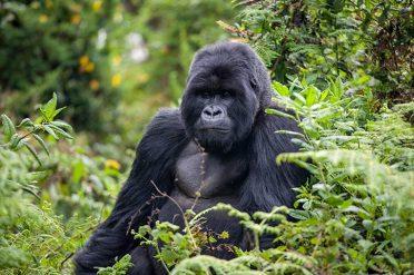 Gorillas Through The Mist Adult Gorilla