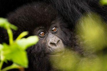 Gorillas Through The Mist Volcanoes National Park Entrance
