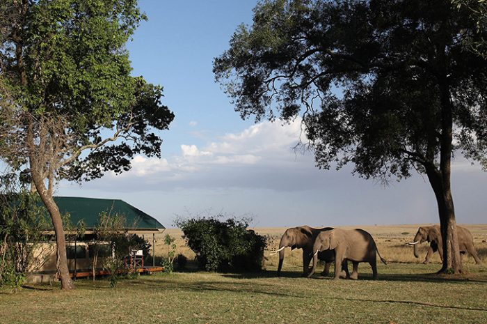 Wild Elephants at Governors Camp