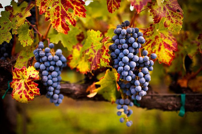 Grapes, Victoria