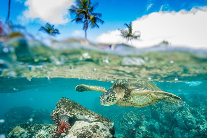 Green Sea Turtle, Maui, Hawaii