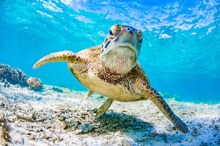 Green Turtle, Queensland