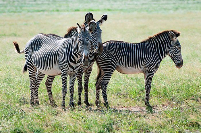 Grevy's Zebra Samburu