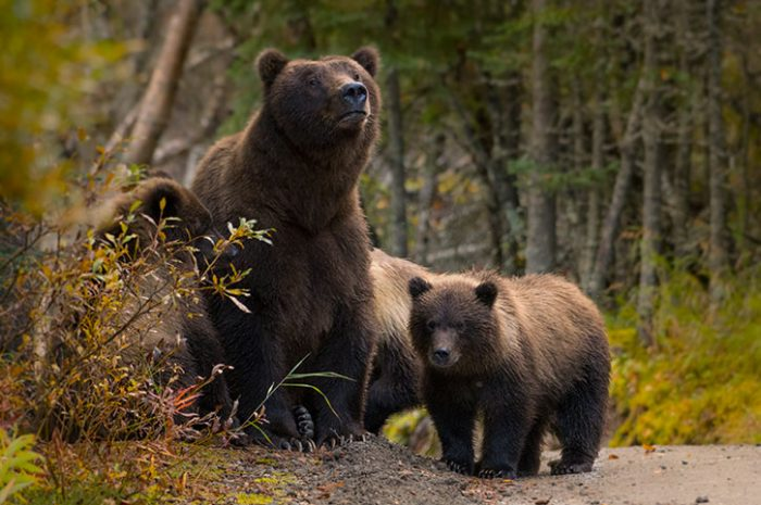 Grizzly Bear Family, Canada