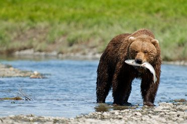 Grizzly Bear Fishing, Canada