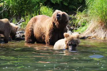 Grizzly Bear Mother And Cubs, Alaska
