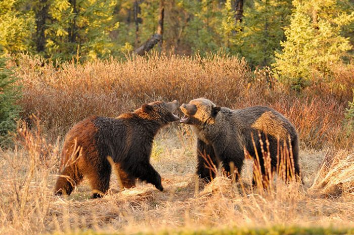 Grizzly Bears, Canada