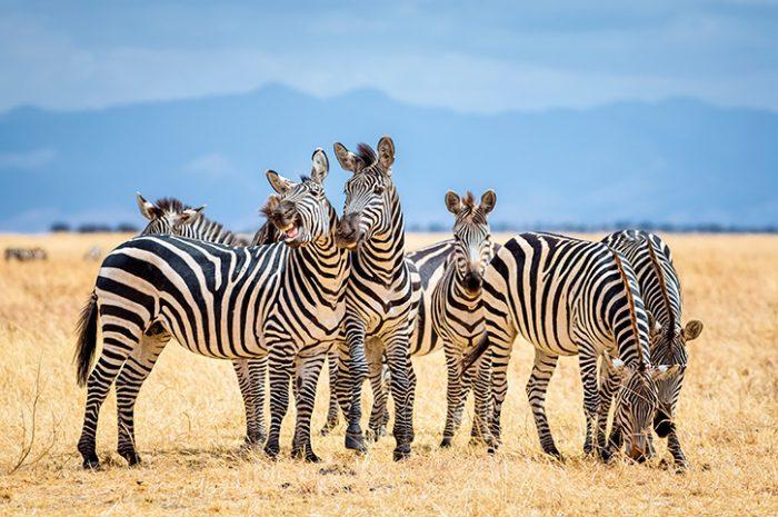 Group of zebras in Tarangire National Park, Tanzania