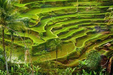 Rice Paddy Ubud