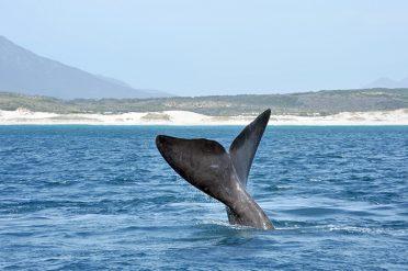 Hermanus Whales