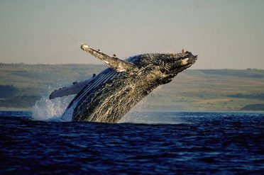 Whale, Hermanus, South Africa