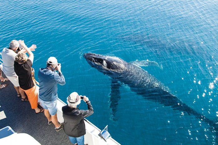 Whale Watching, Hervey Bay
