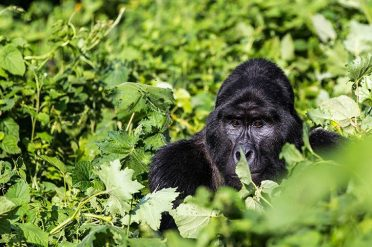Gorilla, Bwindi Impenetrable National Park