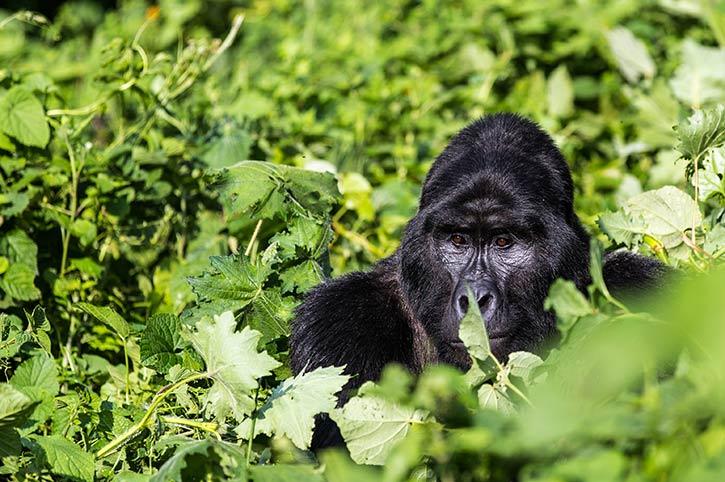 Gorilla, Bwindi Impenetrable National Park