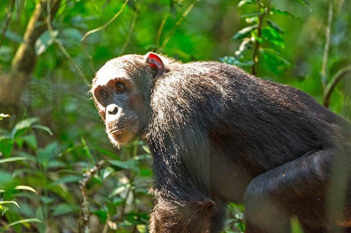 Highlights Of Uganda Chimp Trekking