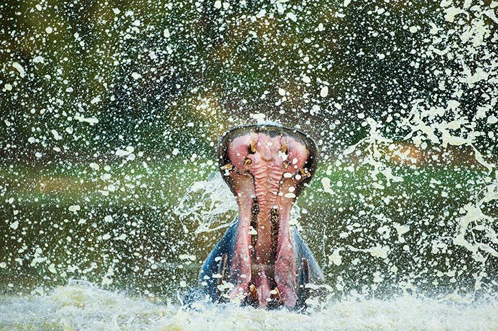 Hippo, Zimbabwe