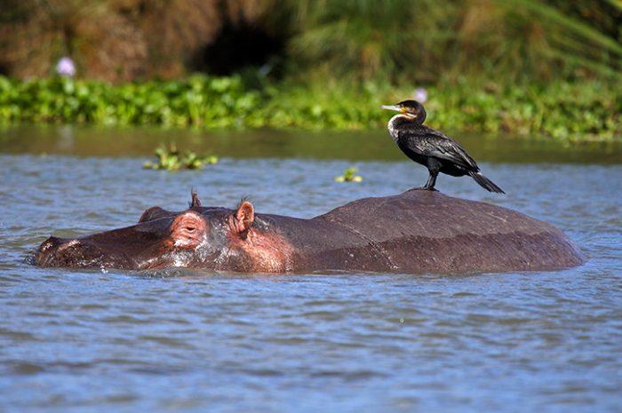 Hippo and cormorant