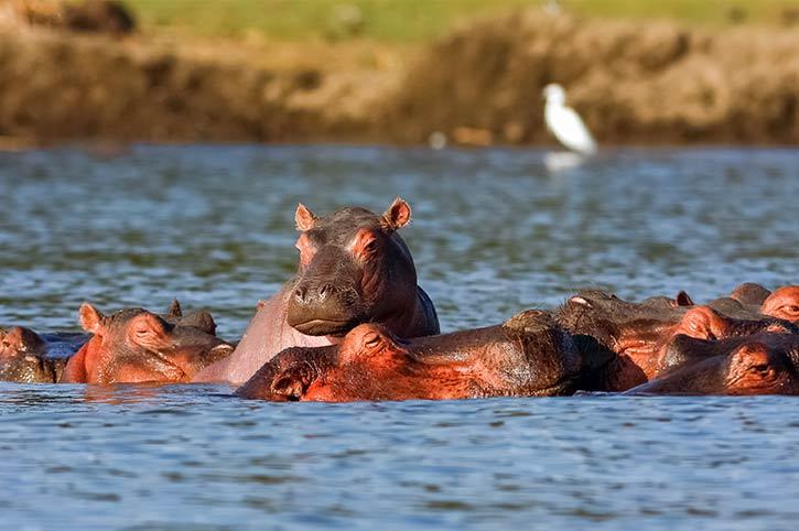 Hippo, Lake Naivasha, Kenya