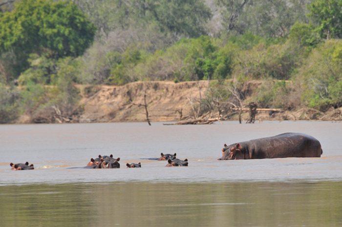 Hippos, Rufiji River